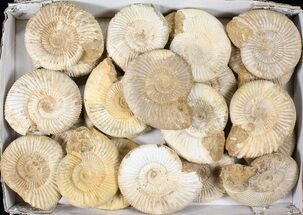 "Wholesale Lot: 4"" Perisphinctes Ammonite Fossils - 23 Pieces For Sale, #81278"