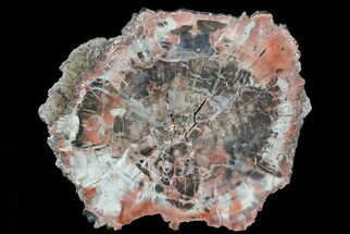 "Buy Bargain, 8"" Polished Petrified Wood (Araucaria) Slab - Arizona  - #81271"