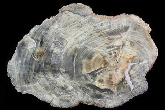 "Buy 17.6"" Triassic Petrified Wood (Araucaria) Round - Madagascar - #81358"