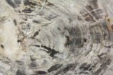 "17.6"" Detailed Petrified Wood (Araucaria) Round - Madagascar - #81441-1"