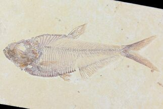"Buy 4.7"" Diplomystus Fossil Fish - Wyoming - #81451"
