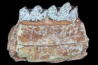 Oligocene Horse (Mesohippus) Jaw Section For Sale, #81518