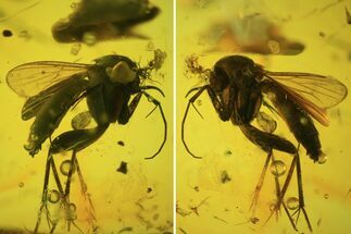 Detailed Fossil Fly (Diptera) In Baltic Amber  For Sale, #81728