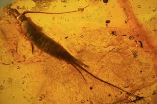 Buy Phenomenal Fossil Bristletail (Archaeognatha) In Baltic Amber - #81775