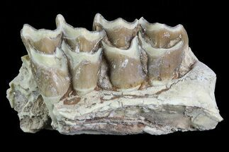 Buy Oreodont Jaw Section With Teeth - South Dakota - #81970