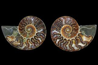 Cleoniceras - Fossils For Sale - #82305