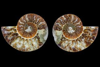 Cleoniceras - Fossils For Sale - #82308