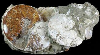 "Buy 18.5"" Wide Fossil Ammonite Cluster In Rock - Madagascar - #82603"
