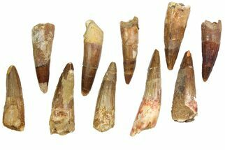 "Wholesale Lot: 2-2.5"", Bargain Spinosaurus Teeth - 10 Pieces For Sale, #82622"