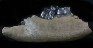 "11.5"" Fossil Rhino (Stephanorhinus) Lower Jaw Section - Germany For Sale, #57818"
