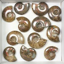 "Wholesale: 1kg Iridescent, Red Flash Ammonites (2-3"") - 12 Pieces For Sale, #82469"