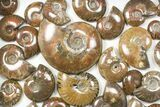 "Wholesale: 1kg Iridescent, Red Flash Ammonites (1-3"") - 37 Pieces - #82475-2"