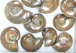 "Wholesale: 1kg Iridescent, Red Flash Ammonites (2-3"") - 15 Pieces - #82479-1"