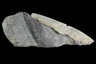 Carcharocles megalodon - Fossils For Sale - #82842