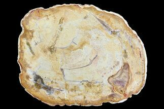 "4.5"" Petrified Wood (Araucaria) Slice - Madagascar For Sale, #83222"