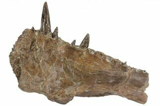"Buy 9.6"" Xiphactinus Jaw Section - Smoky Hill Chalk, Kansas - #62791"