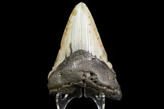 "Buy Bargain, 4.53"" Megalodon Tooth - North Carolina - #83947"