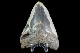 "Bargain, 4.72"" Megalodon Tooth - North Carolina For Sale, #83936"