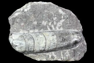 Polished Orthoceras (Cephalopod) Fossil - Morocco For Sale, #84041