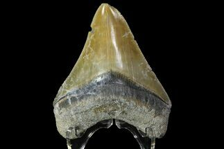Carcharocles megalodon - Fossils For Sale - #84156