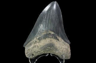 "Serrated, 3.47"" Fossil Megalodon Tooth - Georgia For Sale, #84158"