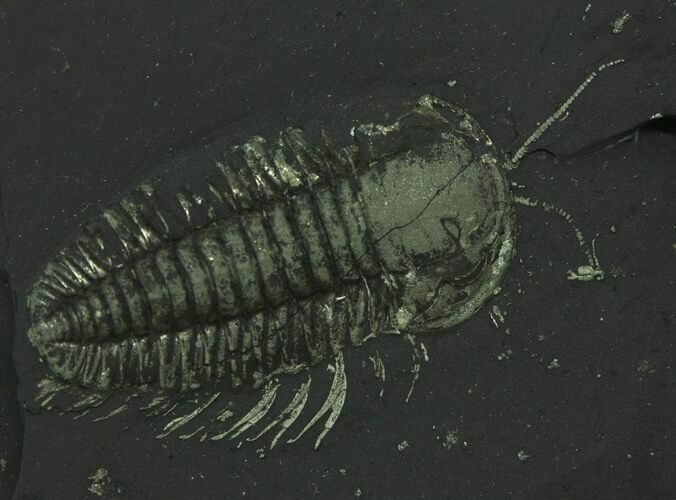 "1"" Pyritized Triarthrus Trilobites With Appendages - New York"