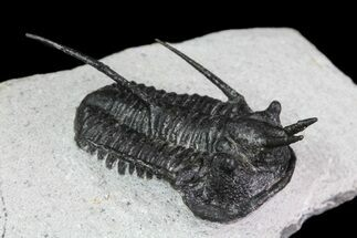 """Devil Horned"" Cyphaspis Walteri Trilobite - 1.45"" For Sale, #84566"