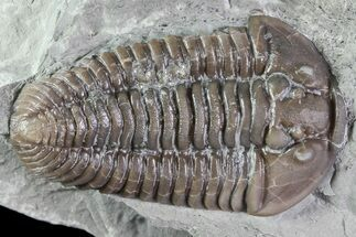 "Buy Huge, 1.7"", Prone Flexicalymene Trilobite - Ohio - #84589"