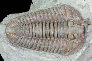 "1.3"" Prone Flexicalymene Trilobite - Mt. Orab, Ohio For Sale, #85346"