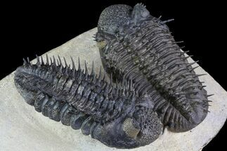 Two Spiny Drotops Armatus Trilobites - Impressive Specimen For Sale, #85400