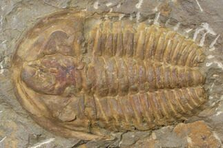 "3.5"" Orange Hamatolenus Trilobite - Tinjdad, Morocco For Sale, #85208"