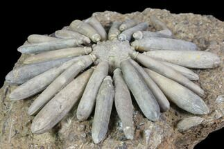 "3.7"" Jurassic Club Urchin (Gymnocidaris) - Boulmane, Morocco For Sale, #85967"