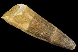 "Buy Bargain 2.83"" Spinosaurus Tooth - Real Dinosaur Tooth - #86488"