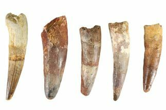 "Buy Wholesale Lot: 3-4"", Bargain Spinosaurus Teeth - 5 Pieces - #86485"