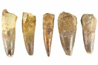 "Wholesale Lot: 3-3.5"", Bargain Spinosaurus Teeth - 5 Pieces For Sale, #86486"