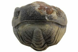 Bumpy Enrolled Barrandeops (Phacops) Trilobite For Sale, #86435