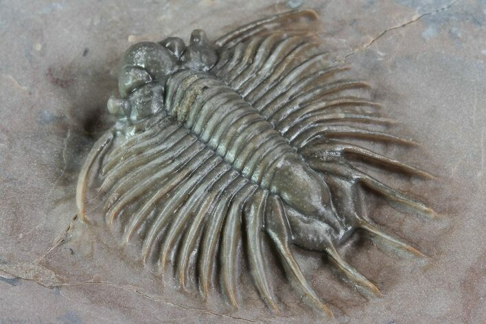 ".9"" Unidentified Lichid Trilobite From Jorf - Belenopyge Like"
