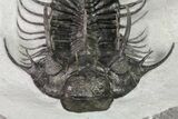 "4"" New Trilobite Species (Affinities to Quadrops) - Very Large! - #86535-9"