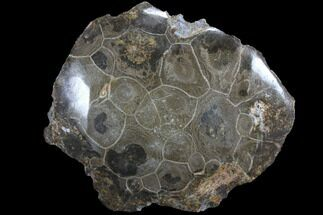 "2.7"" Polished Fossil Coral (Hexagonaria) - Morocco For Sale, #85025"