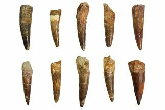 "Wholesale Lot: 2.5-3.5"", Bargain Spinosaurus Teeth - 10 Pieces For Sale, #86489"
