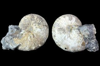 Hoploscaphities nodosus - Fossils For Sale - #86217