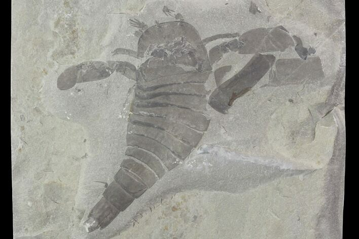"3.8"" Eurypterus (Sea Scorpion) Fossil - New York"