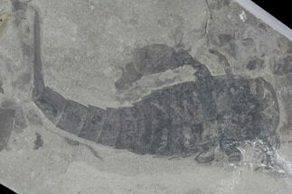 Eurypterus remipes - Fossils For Sale - #86880