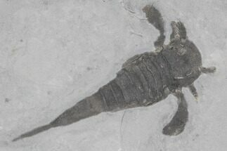 Eurypterus remipes - Fossils For Sale - #86784