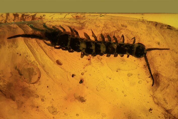 Detailed Fossil Centipede (Chilopoda) In Baltic Amber - Rare!