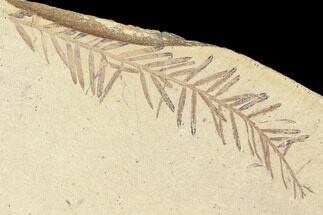 Metasequoia (Dawn Redwood) - Fossils For Sale - #85806