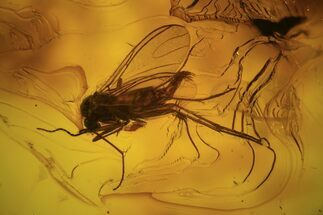 Buy Detailed Fossil Fly (Diptera) In Baltic Amber  - #87229