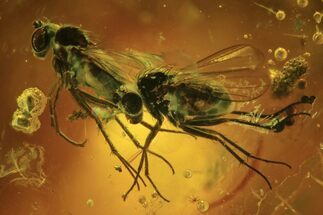 Buy Three Detailed Fossil Flies (Diptera) In Baltic Amber  - #87244