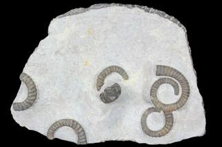 Anetoceras sp. - Fossils For Sale - #87255