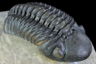 "Buy 2.35"" Reedops Trilobite - Beautiful Eye Detail - #87466"